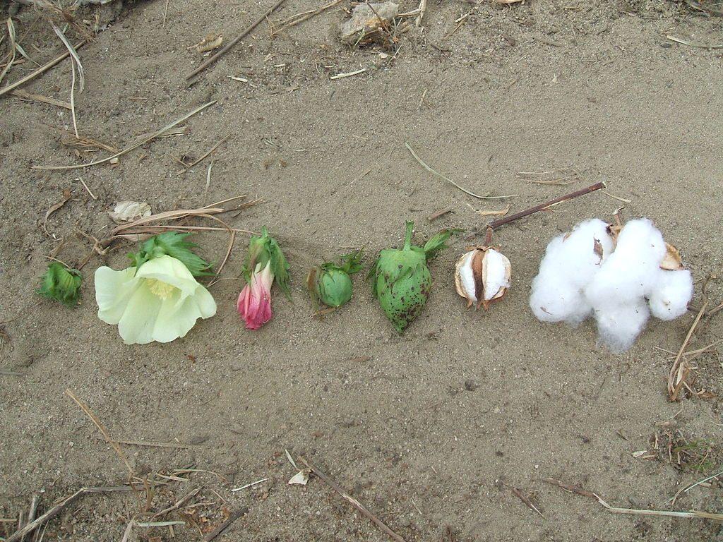 cotton-pflanze-Baumwolle_Stadien
