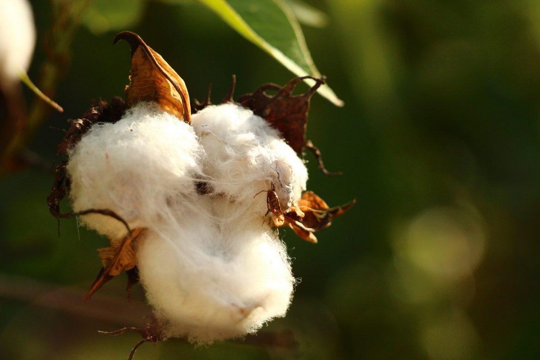 100 Samen Echte Baumwolle Gossypium herbaceum  Topfpflanze Baumwollpflanze