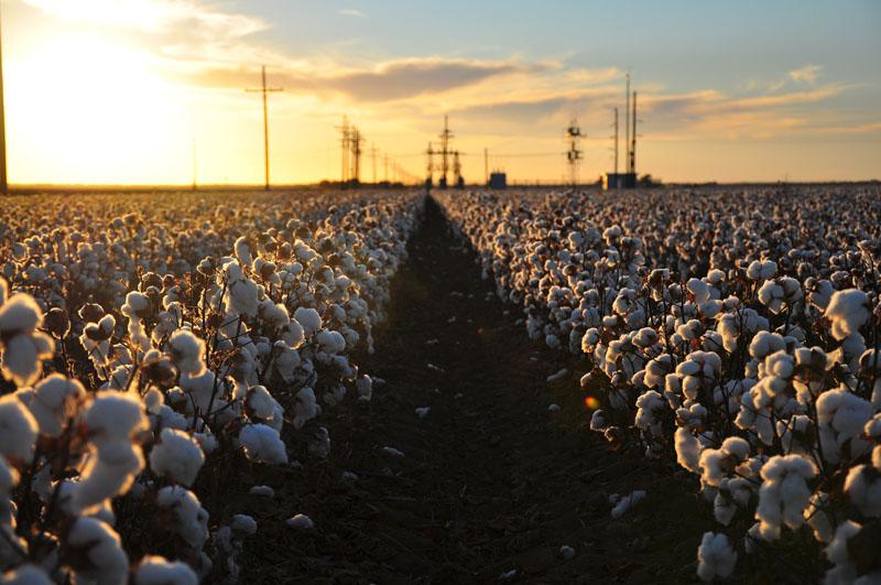 Ernereife Baumwolle auf einer riesigen Kulturfläche, die nur maschinell abgeerntet werden kann.