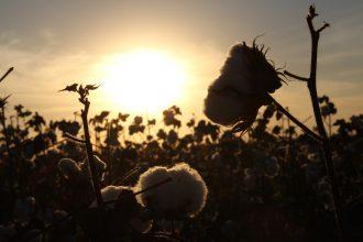 Cotton_baumwolle_umwelt