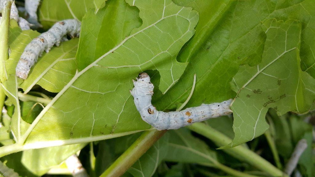 Seidenraupen zwischen Maulbärblättern