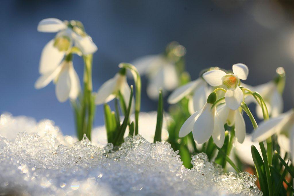 schneeglöckchen im schnee weiß