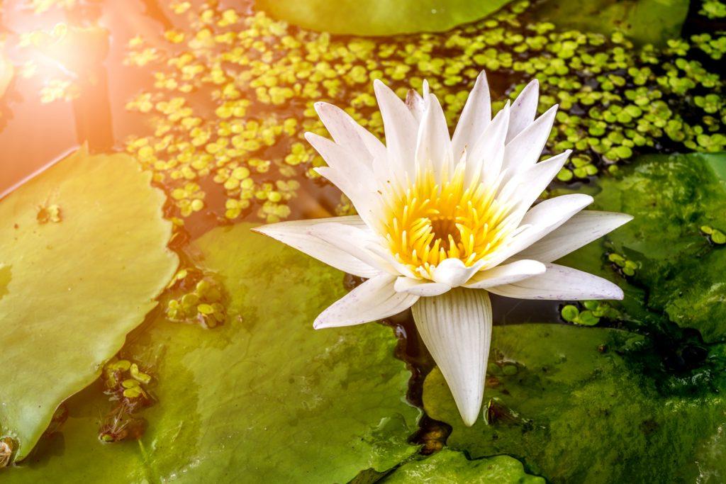 LotusBlüte in der Farbe weiß