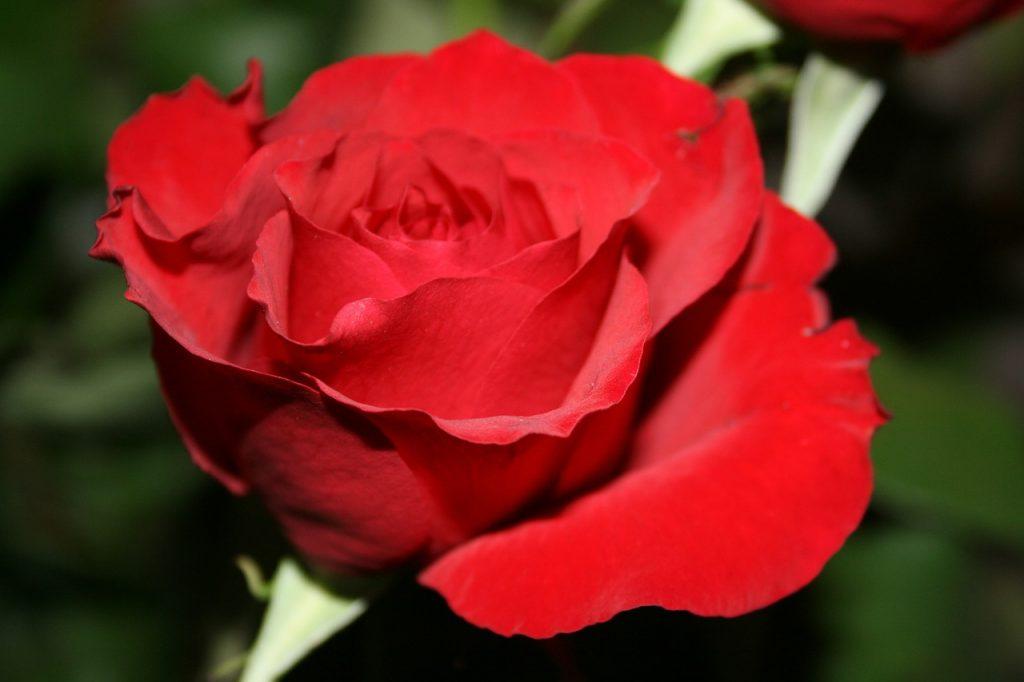 Romantisch - Rote Rose als Zeichen der Liebe