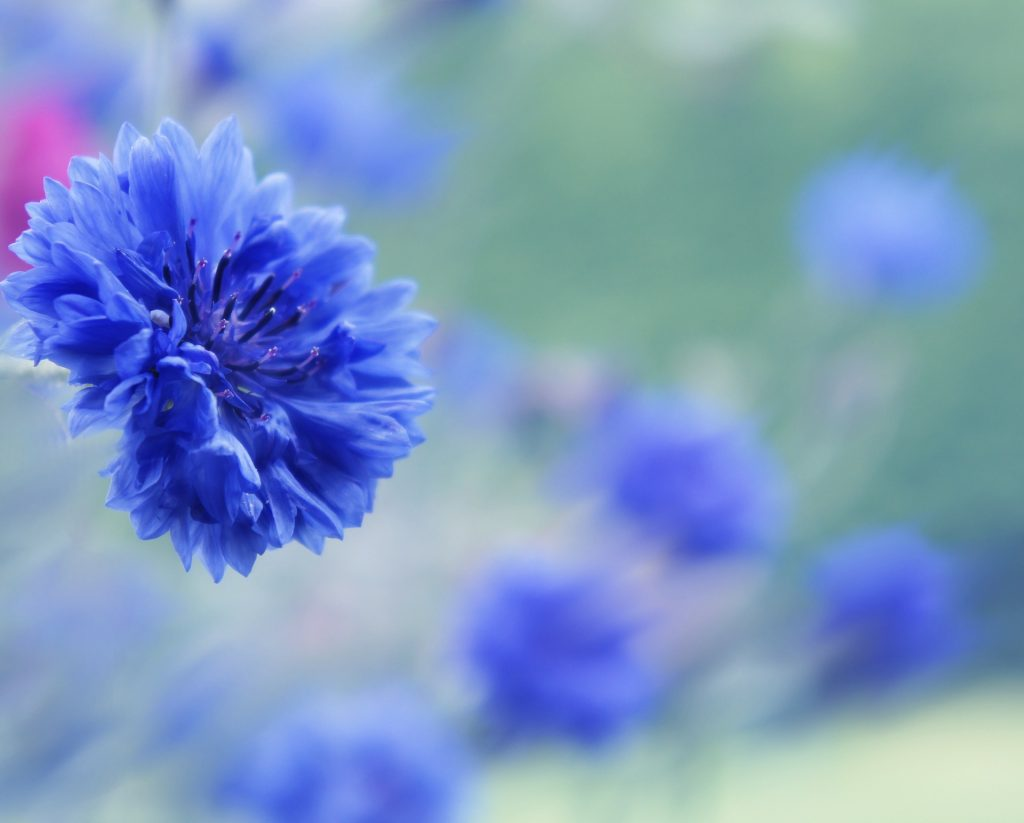 blau-blume-romantik-kornblume-leinen-flachs