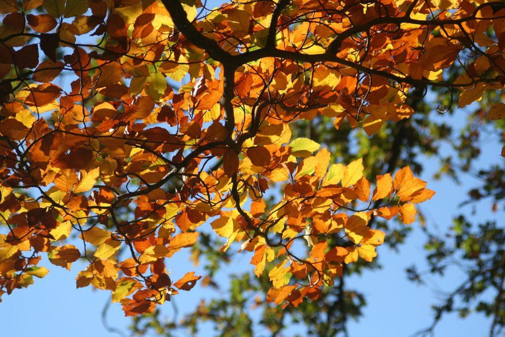 Baum_Buche_Modal_Herbst