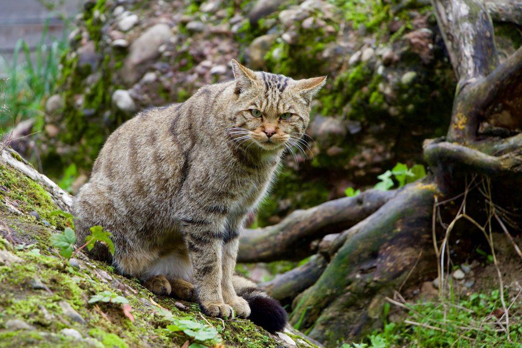 wildkatze-animalprint - tier des Jahres 2018