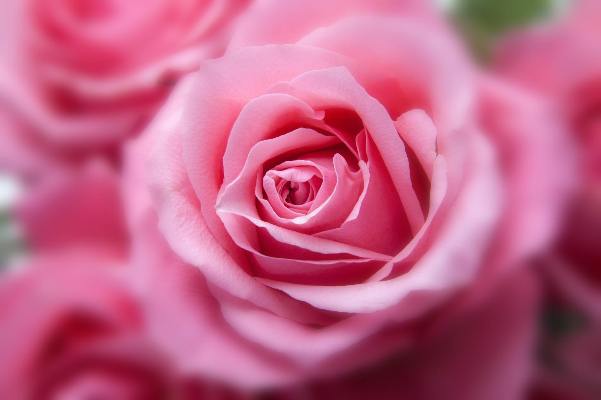 Eine pinkfarbene Rose