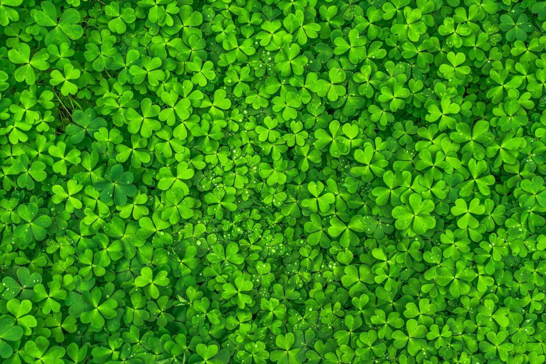 Glückssymbol: grüne Kleeblätter