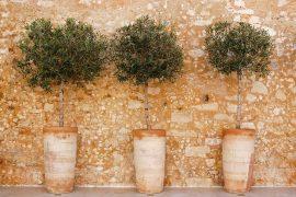 3 Olivenbäume in Terracotta-Töpfen