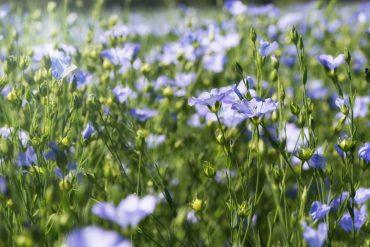Blühende Flachspflanzen