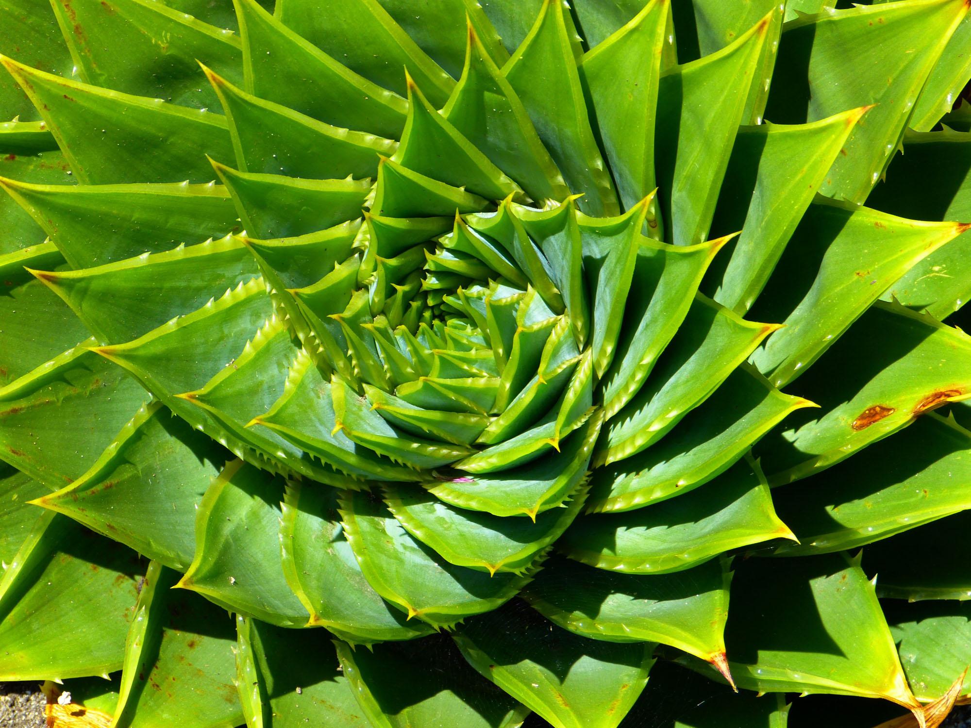 Aloe Plyphylla