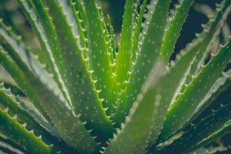 Nahaufnahme Aloepflanze